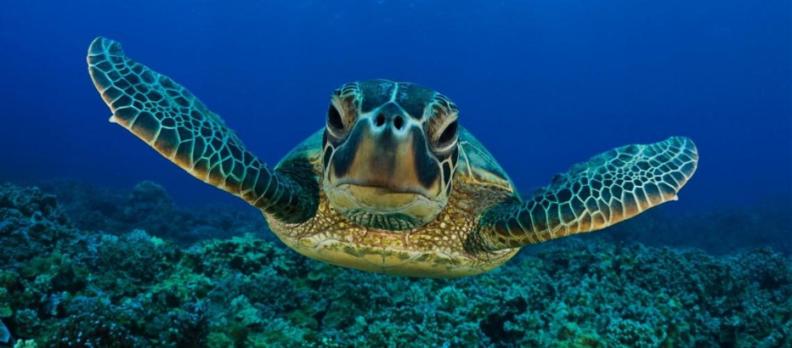 Ocean Turtle Online